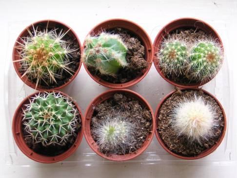 Уход за кактусами, в том числе и во время цветения: пересадка, размножение, полив