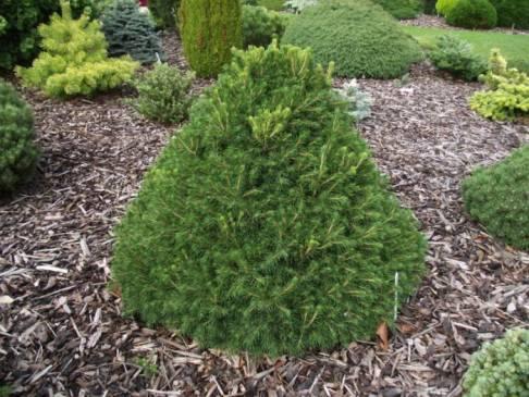 Правила посадки в саду и ухода за канадской елью коника