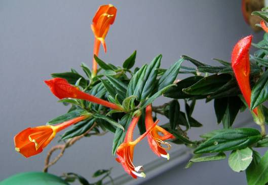 Советы цветовода: колумнея в домашних условиях