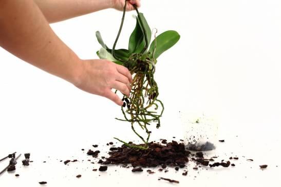 Пересадка орхидеи в домашних условиях: секреты ухода