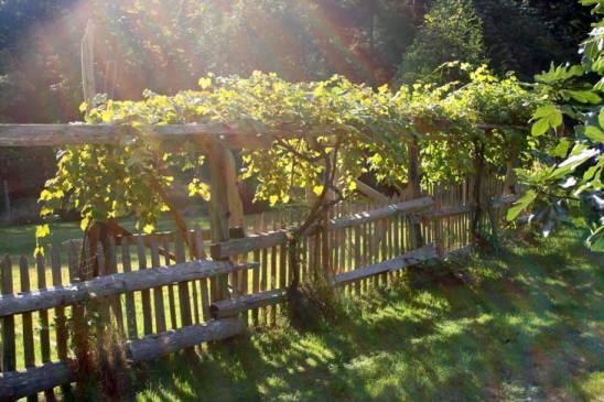 Шпалера для винограда: правила сооружения и установки