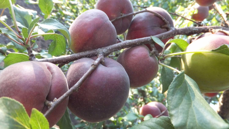 абрикос колибри
