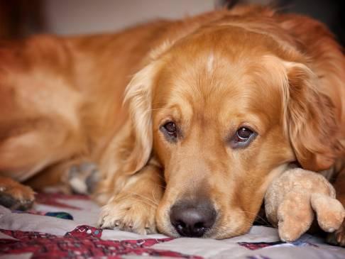 Ложная щенность: фантомная беременность у собак