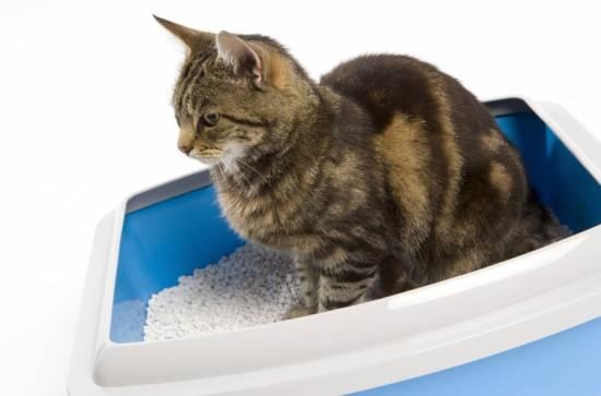 Цистит у котов и кошек: симптомы, диагностика и способы лечения