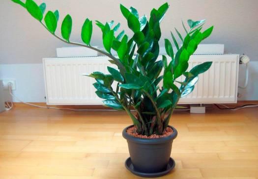 Замиокулькас — благополучие в доме