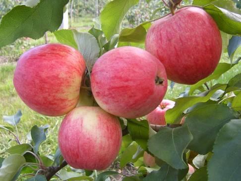 Яблоня Мельба: все нюансы выращивания сладкой красавицы
