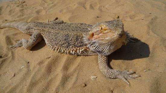 Бородатая агама: дружелюбная ящерица в доме