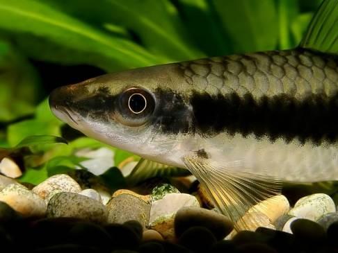 Сиамский водорослеед: санитар в аквариуме