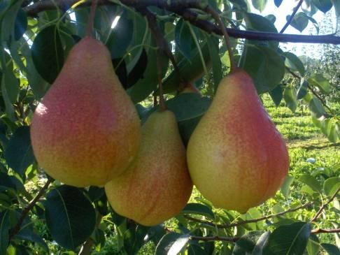 Груша Мраморная — украшение вашего сада