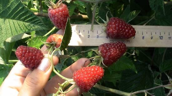 Малина Карамелька: выращиваем сладчайшую ягоду правильно