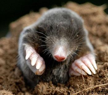 Борьба с крысами и кротами. Как избавиться от кротов и крыс. Защита ягоды от птиц