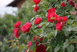 Уход за розами. Ошибки при выращивании роз