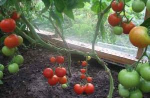 Что и как можно выращивать в теплице