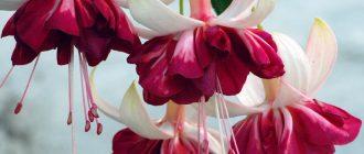 Цветы фуксии