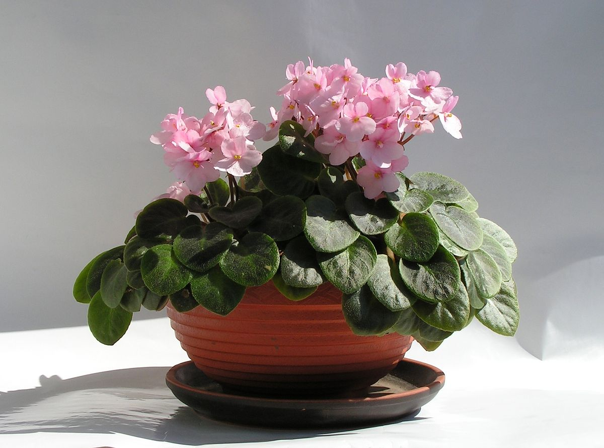 Фиалки в домашних условиях: правила ухода за растениями
