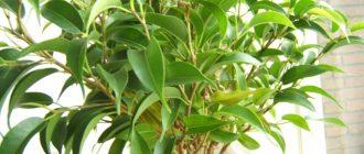 Зелёный фикус