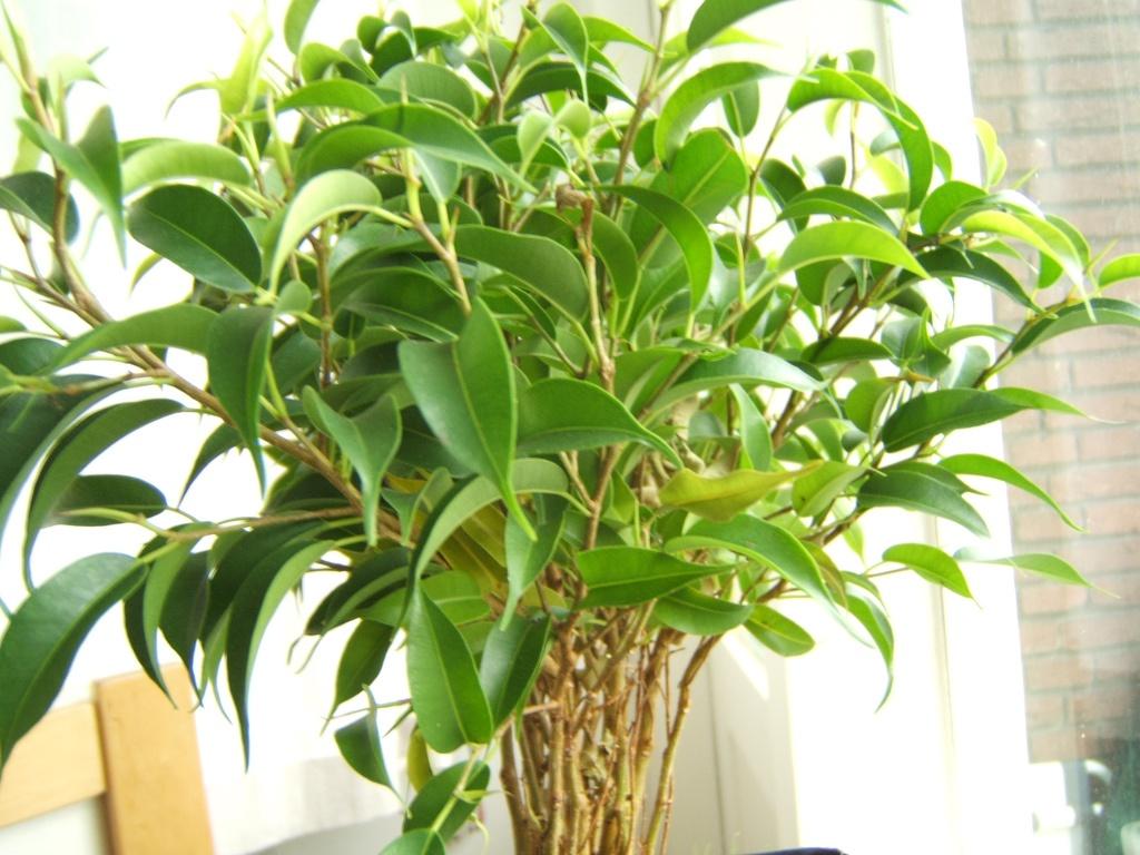 Фикус в домашних условиях: просто растение и предмет интерьера