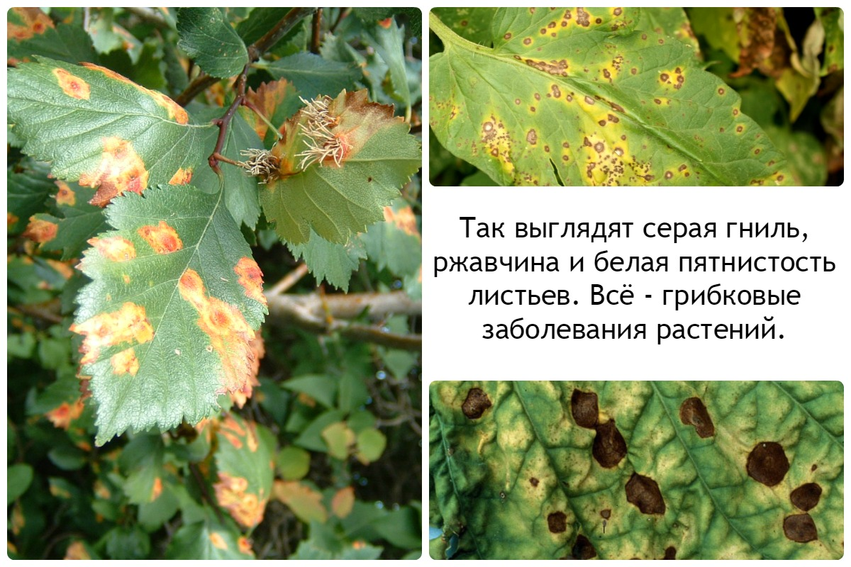 Грибковые заболевания домашних растений