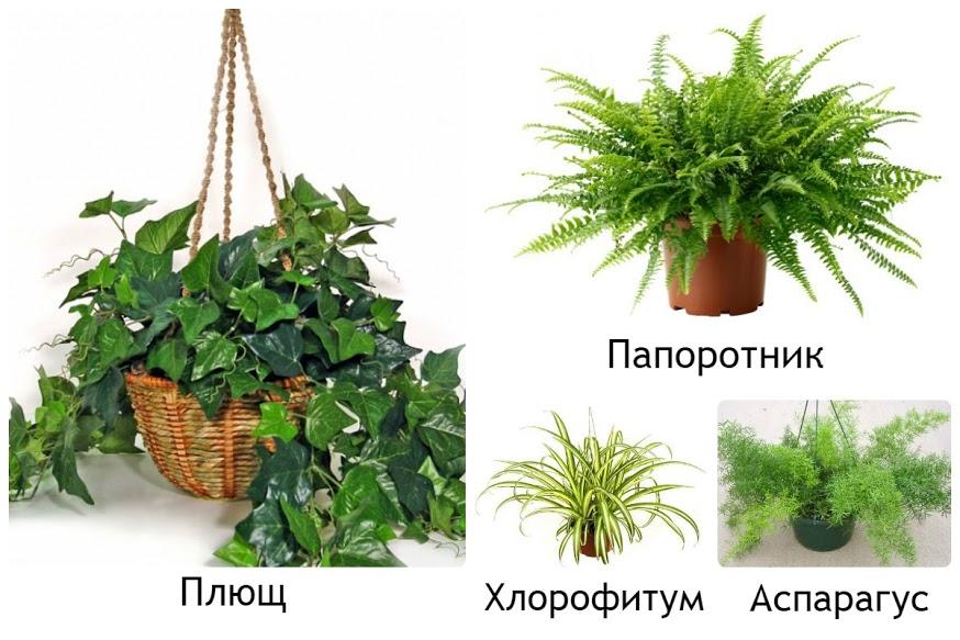 Широколистные комнатные растения