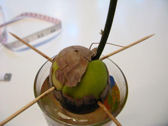 Как посадить авокадо с косточки в домашних