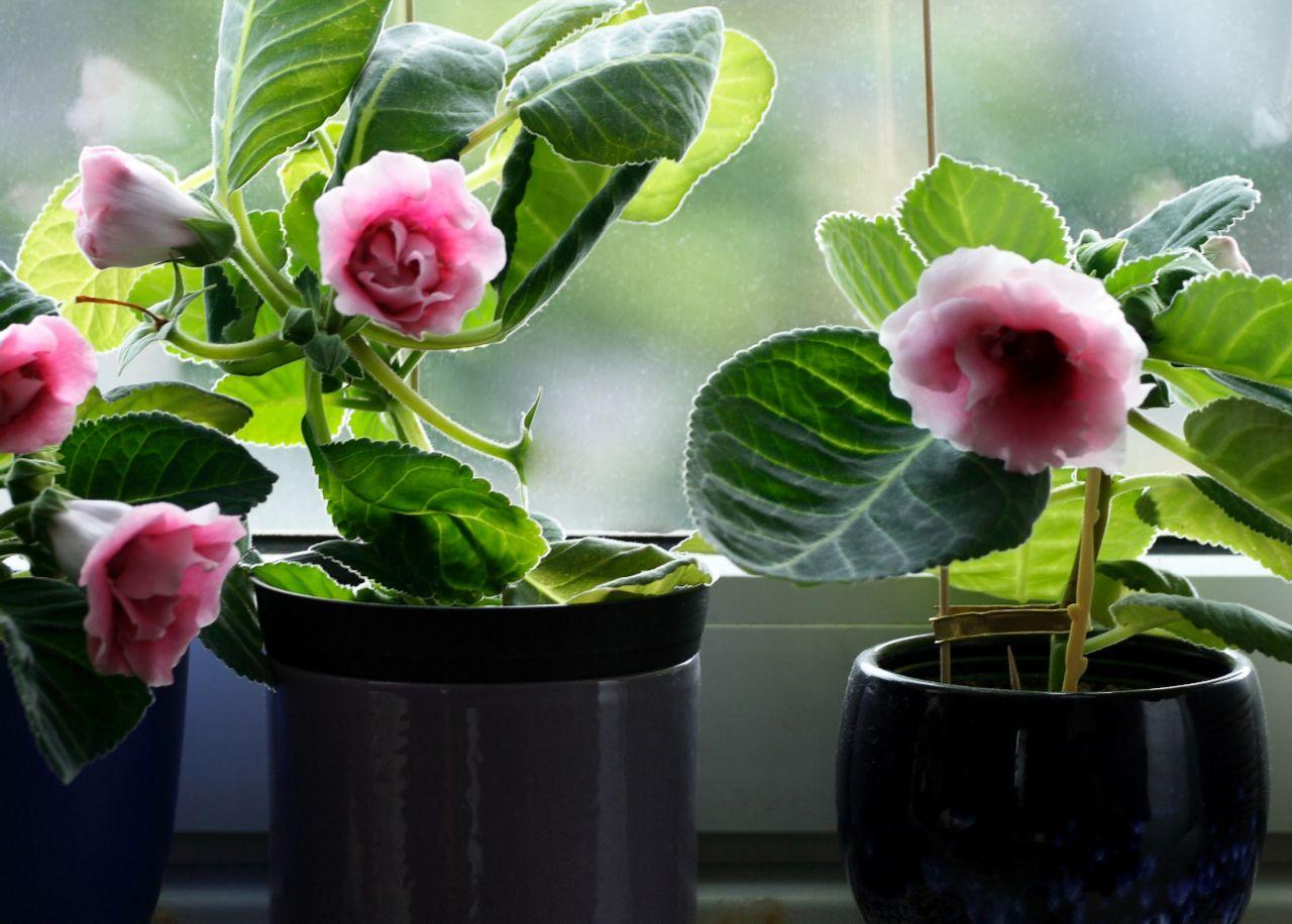 Глоксиния из семян в домашних условиях рекомендации