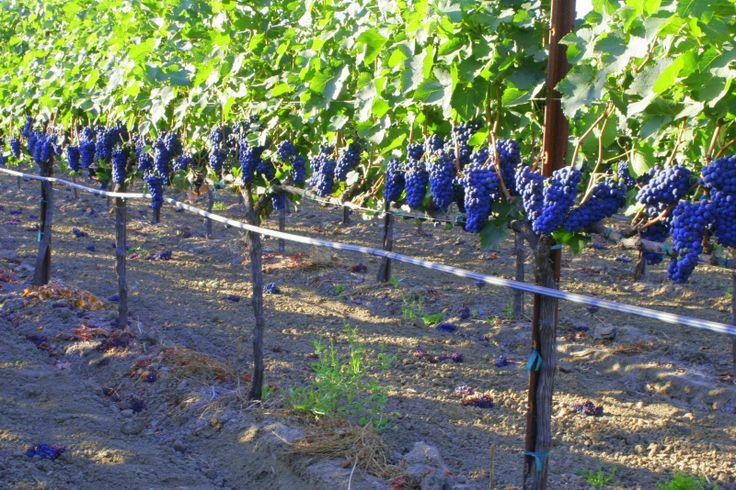 Виноград как сделать шпалеры для