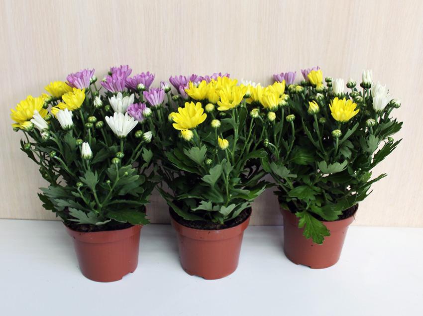 Хризантема горшок уход в домашних условиях