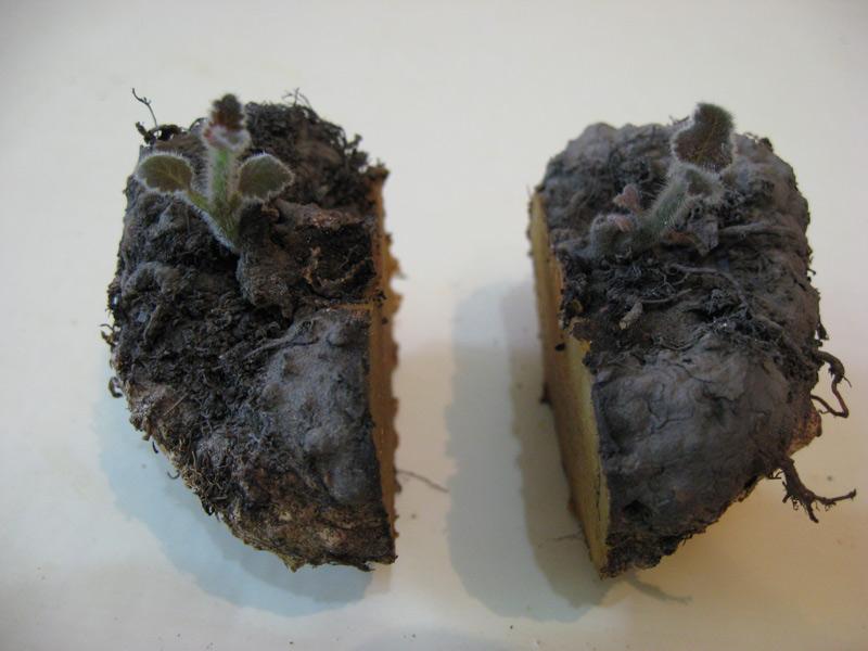 Глоксиния размножение семенами в домашних условиях