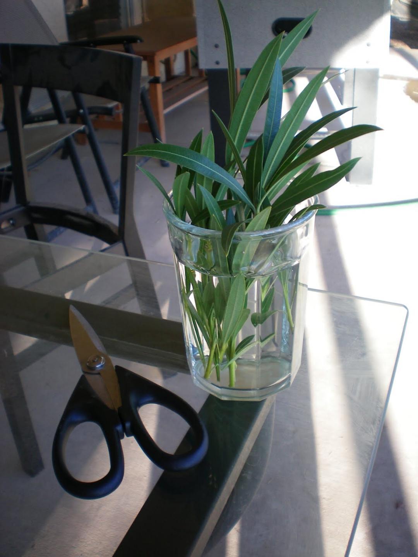 Когда и как размножить олеандр в домашних условиях 162