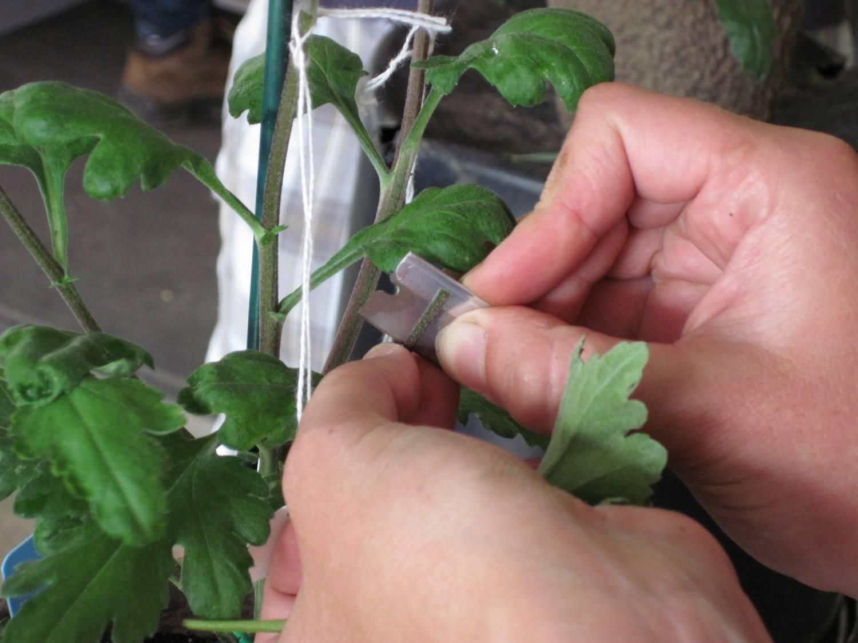 Выращивание хризантем из черенков из букета 21