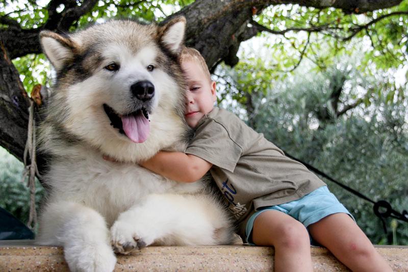 Собака Аляскинский маламут: правильный уход за породой 55