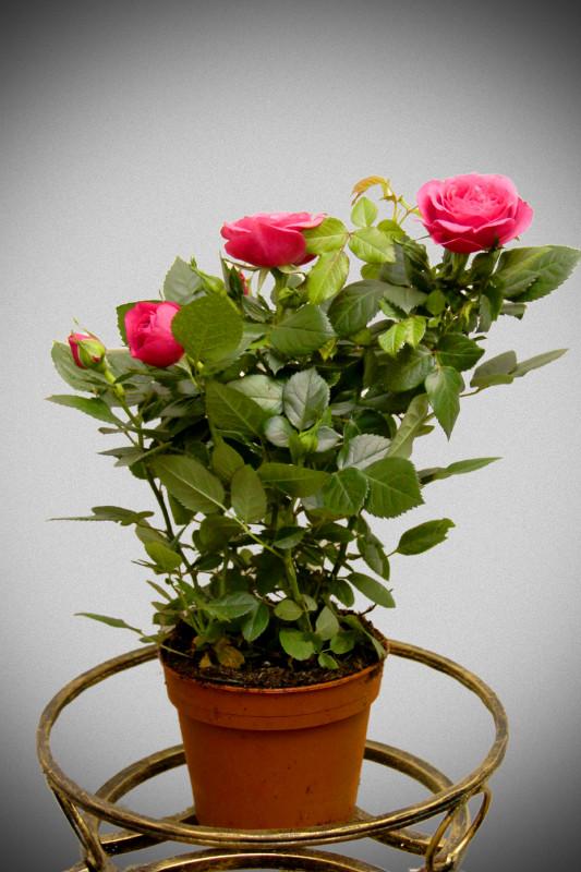 Как ухаживать за мини розой в горшке