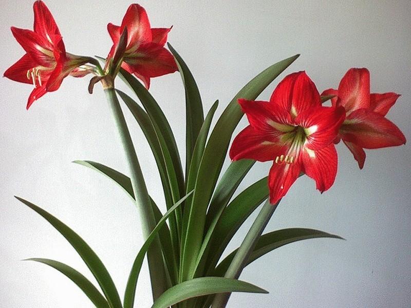 Комнатные цветы гиппеаструма