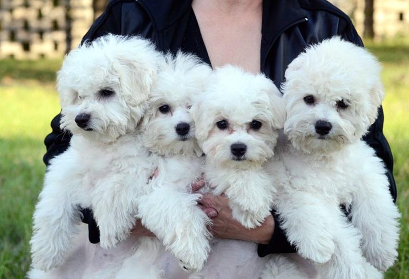 собаки бишон-фризе фото