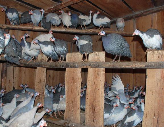 Как разводят кур в домашних условиях - Секрет мастера