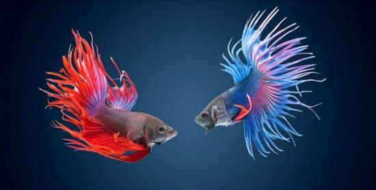 Содержание и уход за рыбкой петушком — ключевые моменты