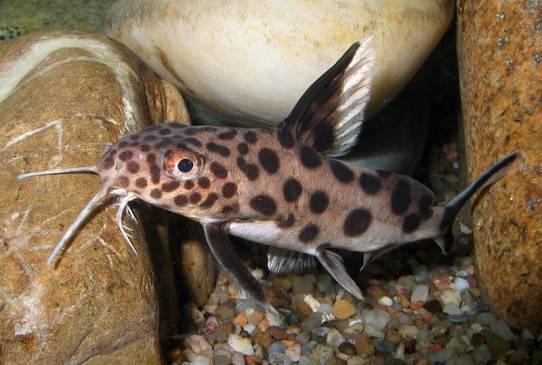 Сом синодонтис: содержание усатого обитателя в аквариуме