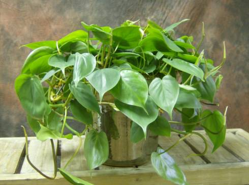 Филодендрон: тропики в доме