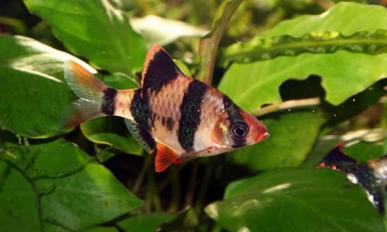 Барбус суматранский: содержание аквариумной рыбки в домашних условиях