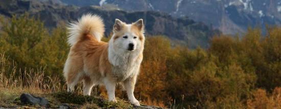 Исландская собака: надёжный охранник и верный компаньон