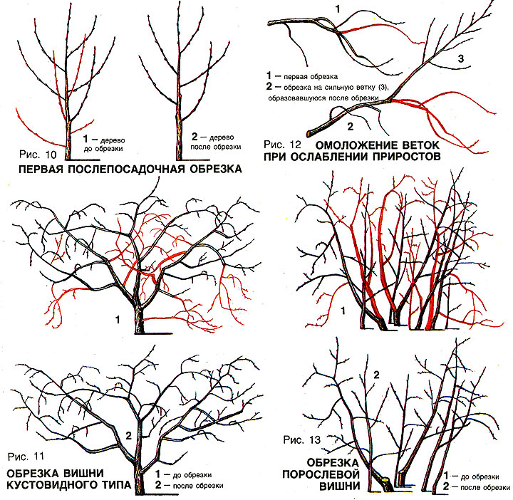 Кустовая вишня уход и выращивание обрезка